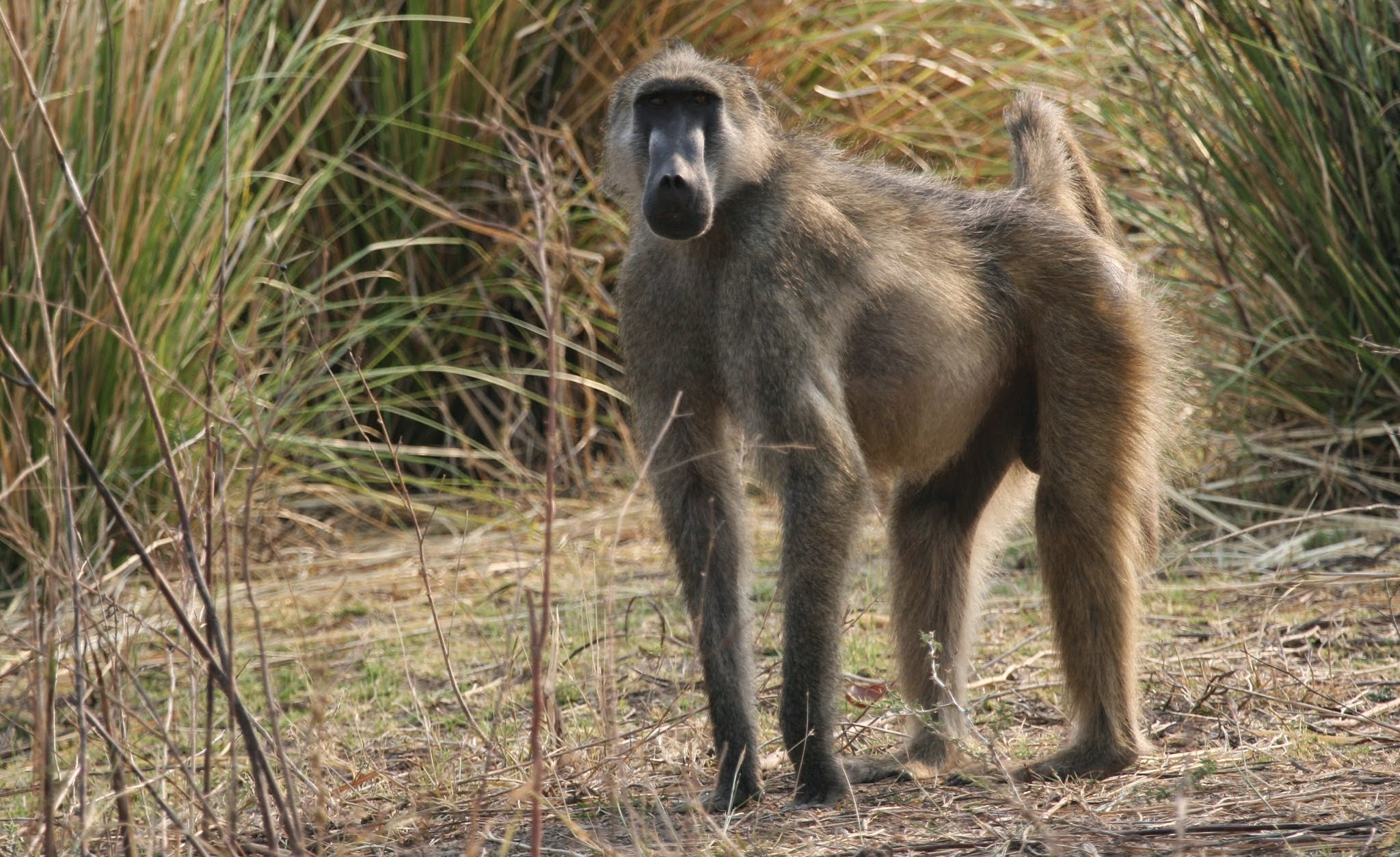 Robinson: The Marooned Baboon