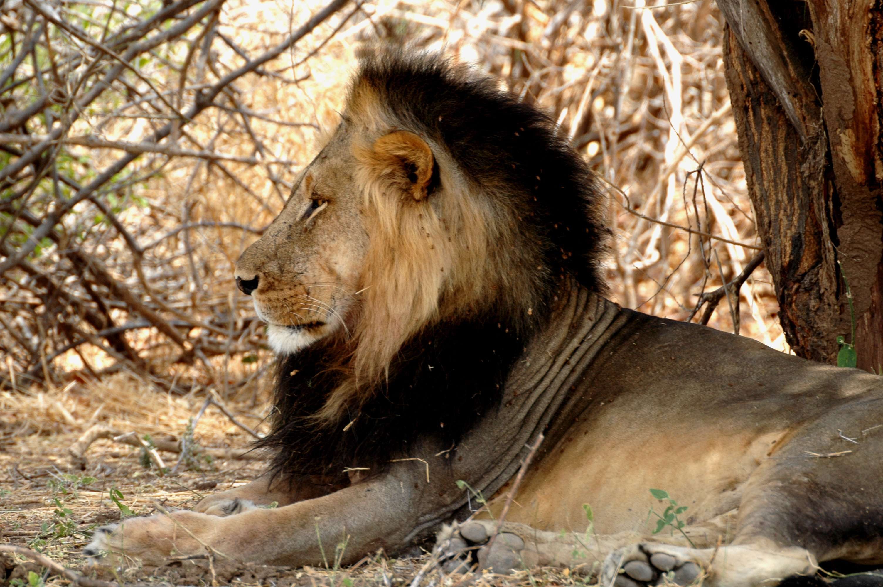 Ruaha male lion